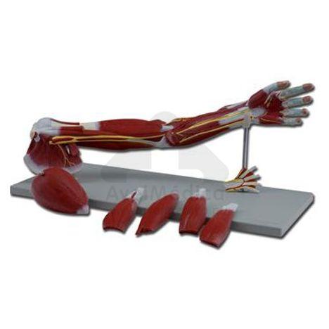 Modelo anatómico braço