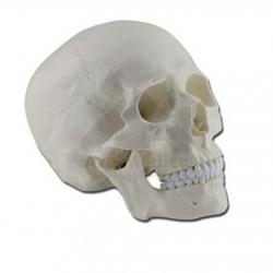 Modelo anatómico crâneo