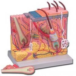 Modelo anatómico da pele