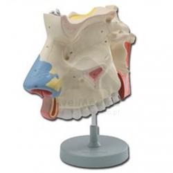 Representação anatómica da cavidade nasal
